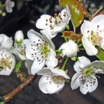 Pear Blossom Scent
